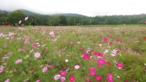 黒姫山のコスモス園