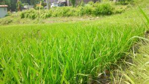 長野県信濃町の稲